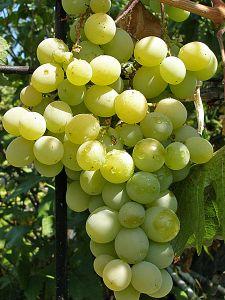 Саженцы винограда «Талисман Кеша», 2-х летние